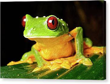 Spurell's Flying Frog (agalychnis Canvas Print