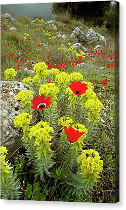 Spurge And Peacock Anemones In Flower Canvas Print by Bob Gibbons