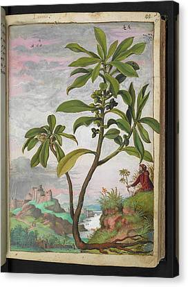 Spurge-laurel (daphne Laureola) Canvas Print by British Library