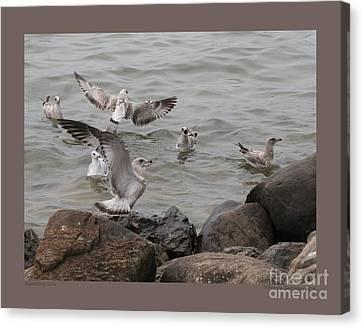 Squabbling Gulls Canvas Print