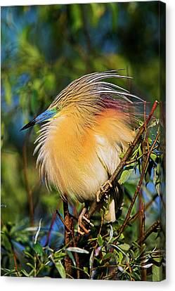 Squacco Heron (ardeola Ralloides Canvas Print by Martin Zwick