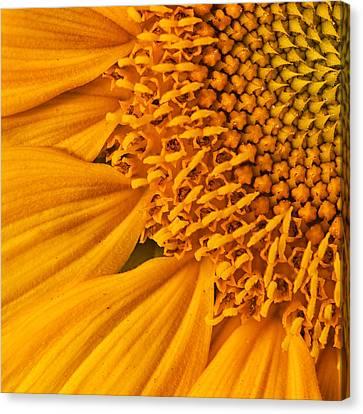 Square Sunflower Canvas Print