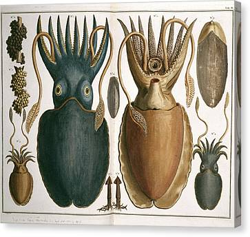Squid Canvas Print by Natural History Museum, London