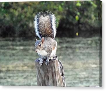 Canvas Print featuring the photograph Squirrel 035 by Chris Mercer
