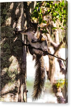 Squirrel 1 Canvas Print by Zina Stromberg