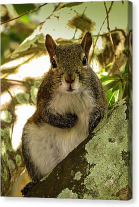 Squirrel 2 Canvas Print by Zina Stromberg