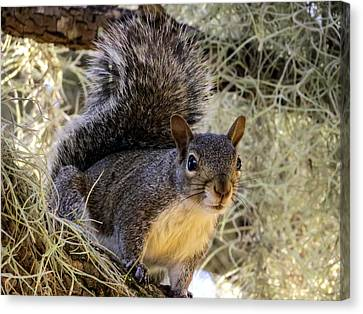 Squirrel 3 Canvas Print by Zina Stromberg