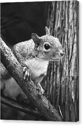 Squirrel Black And White Canvas Print by Sandi OReilly
