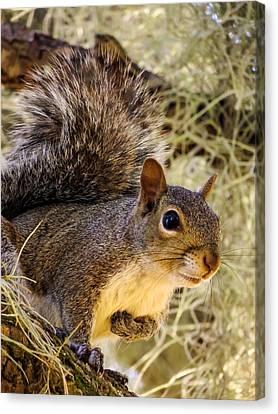 Squirrel Close Canvas Print by Zina Stromberg