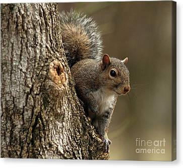 Squirrel Canvas Print by Douglas Stucky