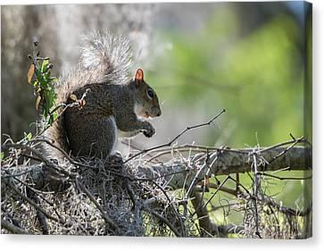 Squirrel Eating In An Oak Tree Canvas Print by Sheila Haddad