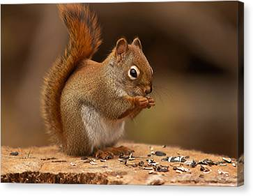 Squirrel Eating Canvas Print by Josef Pittner