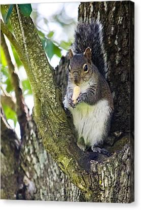 Squirrel Eating Nut Canvas Print by Renee Barnes