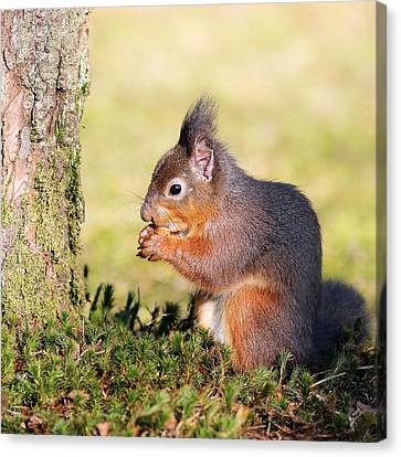 Bushy Tail Canvas Print - Squirrel by Grant Glendinning