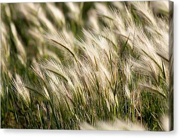 Canvas Print featuring the photograph Squirrel Grass by Fran Riley