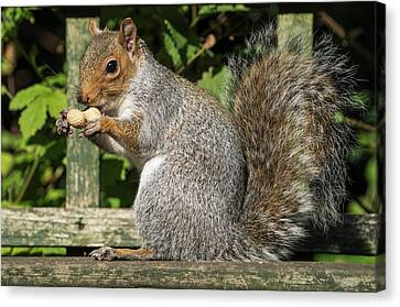 Squirrel Holding A Shelled Peanut Canvas Print by John Short