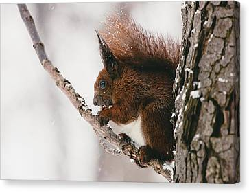 Squirrel In Winter Canvas Print
