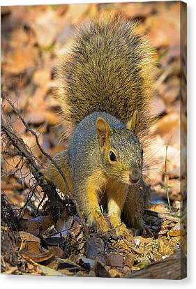 Squirrel Canvas Print by John Johnson