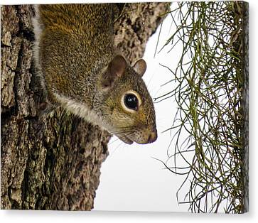Squirrel On The Tree Canvas Print by Zina Stromberg