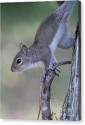Squirrel Pose Canvas Print by Deborah Benoit