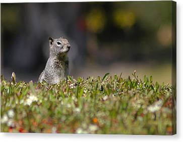 Canvas Print featuring the photograph Spy Squirrel  by Richard Stephen