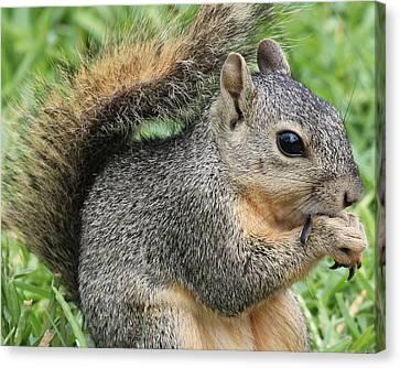 Bushy Tail Canvas Print - Squirrel Thief by TN Fairey