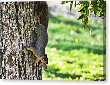Squirrel With Pecan Canvas Print by Debbie Portwood
