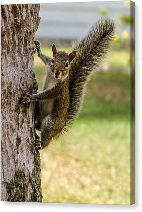 Squirrel Canvas Print by Zina Stromberg
