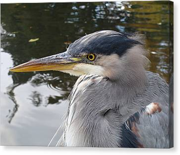 Sr Heron  Canvas Print by Cheryl Hoyle