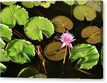 Sri Lanka, Dambulla, Water Lily Canvas Print by Stephanie Rabemiafara