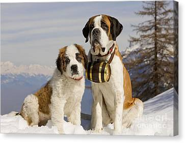 St Bernard And Puppy Canvas Print by Jean-Michel Labat