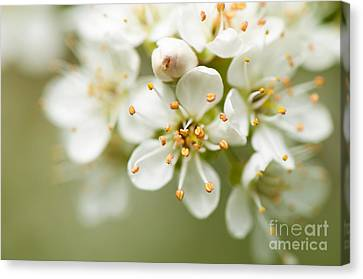 Close Focus Floral Canvas Print - St Lucie Cherry Blossom by Anne Gilbert