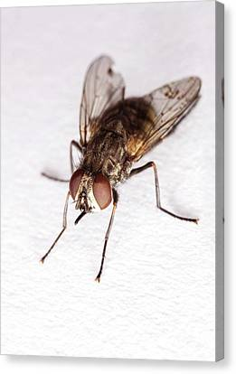 Stable Fly Canvas Print by Stephen Ausmus/us Department Of Agriculture