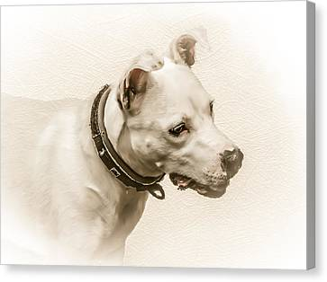 Staffordshire Terrier Canvas Print by Ian Hufton