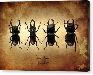 Stag Beetles Canvas Print by Mark Rogan