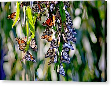 Stained Glass Butterflies Canvas Print