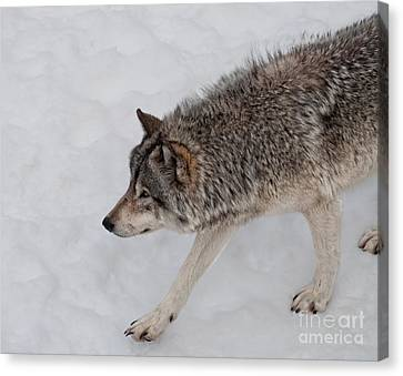 Canvas Print featuring the photograph Stalker by Bianca Nadeau