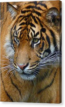 Stalking A Snack Canvas Print by Margaret Saheed