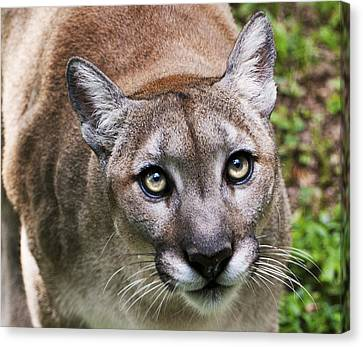 Stalking Cougar Canvas Print by Donna Proctor