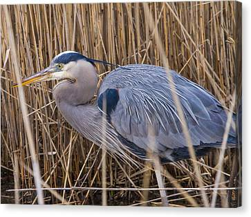 Stalking Fish In The Reeds Canvas Print by Allan Levin