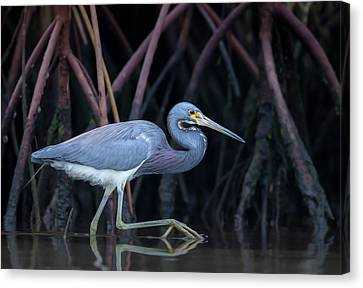 Stalking In The Mangroves Canvas Print by Greg Barsh