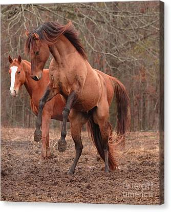 Stallion Rearing Canvas Print by Russell Christie