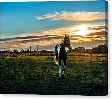 Stallion Sunset Canvas Print by Patrick Wolf