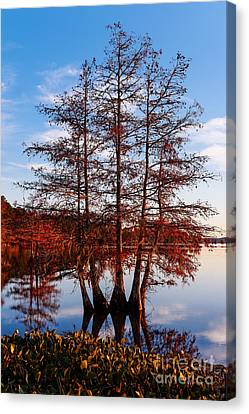 Stand Of Bald Cypress Trees At Ba Steinhagen Lake In Martin Dies Jr State Park - Jasper East Texas Canvas Print by Silvio Ligutti