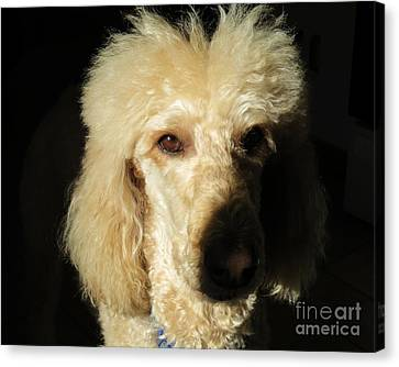 Standard Poodle Canvas Print by Judy Via-Wolff
