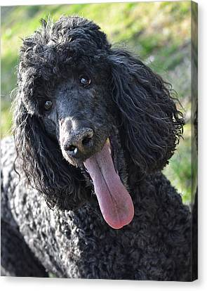 Standard Poodle Canvas Print by Lisa Phillips