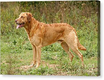 Standing Chesapeake Bay Retriever Dog Canvas Print by Dog Photos