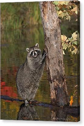 Standing Raccoon Canvas Print