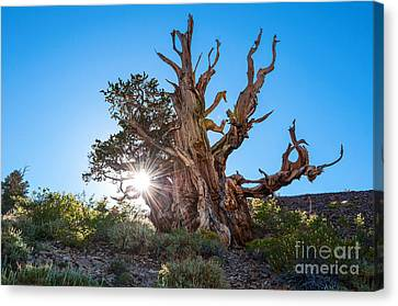 Standing Strong - Sun Burst View Of The Ancient Bristlecone Pine Forest. Canvas Print by Jamie Pham