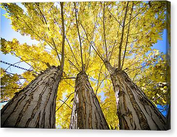 Standing Tall Autumn Maple Canvas Print